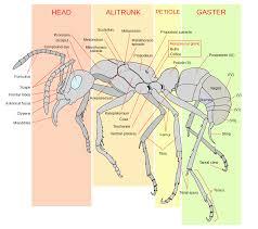 ant morphology