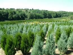 <b>Можжевельник</b> - Хвойные <b>растения</b> - Декоративные деревья и ...