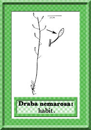 Draba nemorosa in Flora of Pakistan @ efloras.org