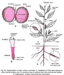 essay on plants organisation of seed embryo and plant