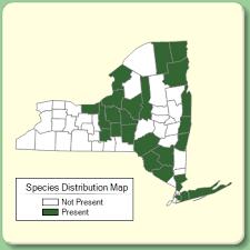 Ranunculus trichophyllus - Species Page - NYFA: New York Flora ...