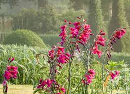 Gladiolus communis subsp. byzantinus (Byzantine Gladiolus)