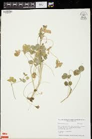 SEINet Portal Network - Trifolium isthmocarpum