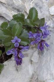 Paederota bonarota - Legge regionale 10 - Flora e piccola fauna ...