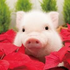 285 Best Christmas Pigs images in 2019 | Mini pigs, Teacup pigs ...