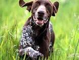 100+ ideas to try about GSP ,German shorthaired pointer! Yeah ...