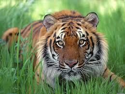 Znalezione obrazy dla zapytania tygrys