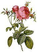 Виды рода Шиповник — Википедия