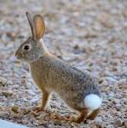 Images & Illustrations of cottontail rabbit