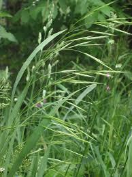 Festuca arundinacea – Wikipédia, a enciclopédia livre
