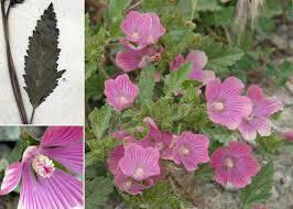Malope malacoides L. subsp. malacoides - Portale della Flora di ...