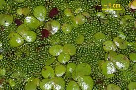 Spirodela polyrhiza - Wikipedia, la enciclopedia libre