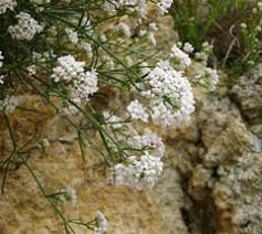 Asperula cynanchica Squinancy Wort PFAF Plant Database