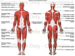 <b>Muscular System</b> - Functions of the Human <b>Body Systems</b>