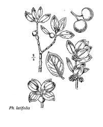 florae.it :: Sp. Phillyrea latifolia