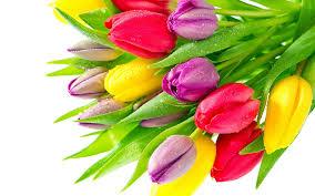Bildresultat för tulips