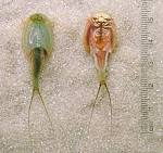Images & Illustrations of branchiopod crustacean