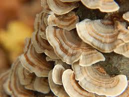 What Are the Benefits of <b>Turkey Tail Mushrooms</b>? – Om, Organic ...