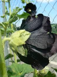 """Résultat de recherche d'images pour """"roses trémières noires"""""""