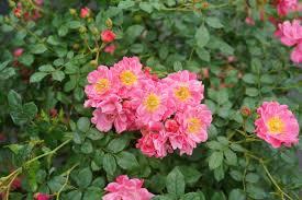 Oso Easy® Double <b>Pink</b> - <b>Rose</b> - Rosa x | Proven Winners