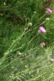 Carduus vivariensis - Jord.