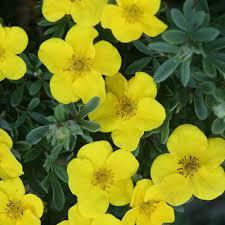 Happy Face® Yellow - Potentilla fruticosa | Proven Winners