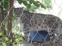 snow leopards by chelsey butcher on prezi
