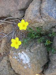 Linum campanulatum - Wikipedia, la enciclopedia libre
