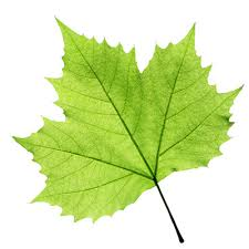 Image result for leaf