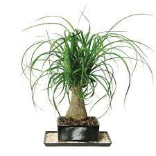 room plants x: ponytail palm indoor defcc fab f afc d