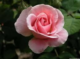 Resultado de imagem para imagens de rosas cor de rosa
