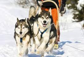 Resultado de imagen para perros que arrastran trineos