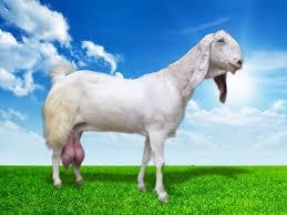 Hasil gambar untuk susu kambing