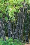 Images & Illustrations of black bamboo