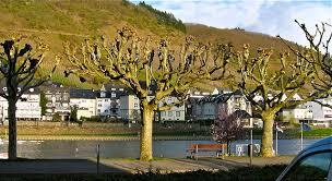 Canopy Pollarded Trees
