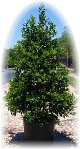 Image result for holly trees