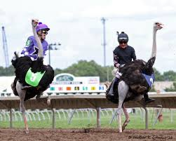 photo essay extreme day at canterbury midwest paddock report michelle benson l and justin shepherd r looking like they had little control over their ostriches as they got a little close for comfort