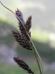 Carex aterrima · iNaturalist.org