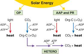 solar energy capture and transformation in the sea solar energy capture in marine microbial assemblages via complementary energy and carbon flow pathways
