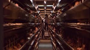 factory farming essay essaysforstudentcom factory farming essay examples kibin