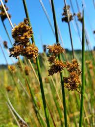 Juncus effusus Calflora