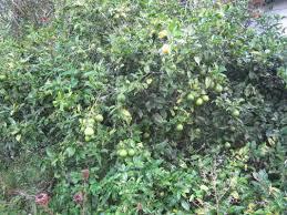 lemon tree x: citrus x limon lemon tree  orig citrus x limon lemon tree