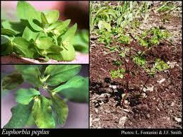 Euphorbia peplus L.: FloraBase: Flora of Western Australia
