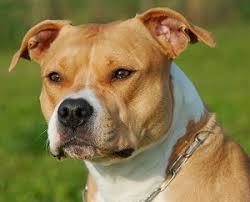 Image result for american staffordshire terrier