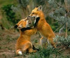 Image result for fox pics