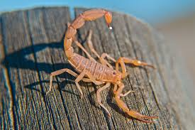 How Does a <b>Scorpion</b> Decide When to <b>Sting</b>? | JSTOR Daily