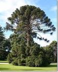 Images & Illustrations of bunya pine