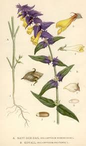 Melampyrum - Wikipedia
