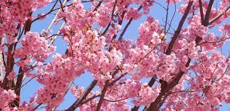 Kiraz Çiçeği ile ilgili görsel sonucu