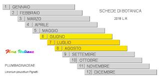 Limonium peucetium [Limonio barese] - Flora Italiana